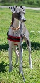 Loki, a one-year old Italian Greyhound