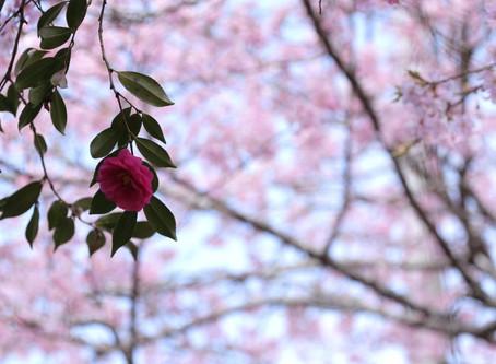 河津桜、〆はここで
