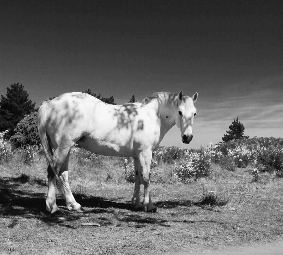 Kaikoura Horses Three