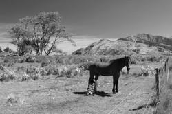 Kaikoura Horses One_edited