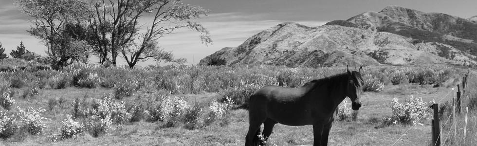 Kaikoura Horses One