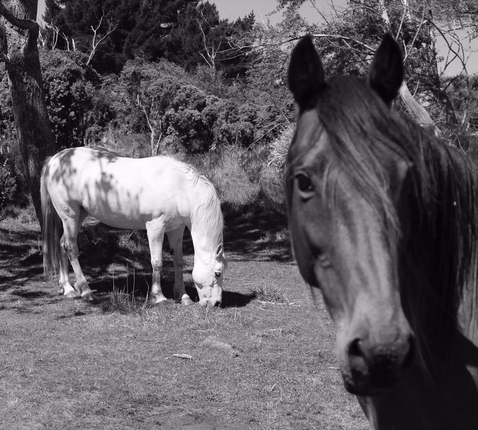 Kaikoura Horses Two