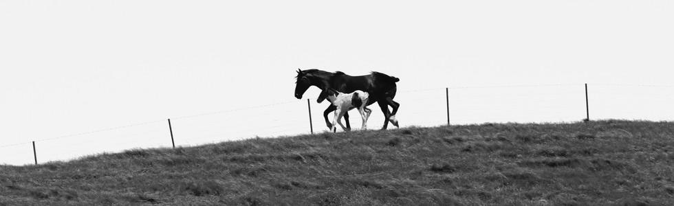 Kaikoura Horses Eight
