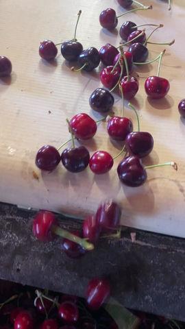 Farm Fresh Cherries are ready for farmers markets near you