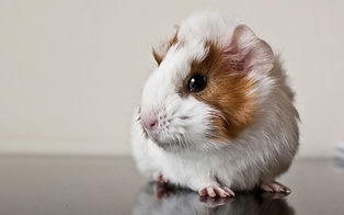 guinea_pig_rodent_spotted_101357_3840x24
