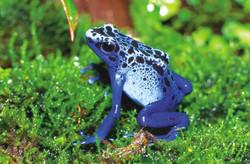 Poison Arrow Frog-2