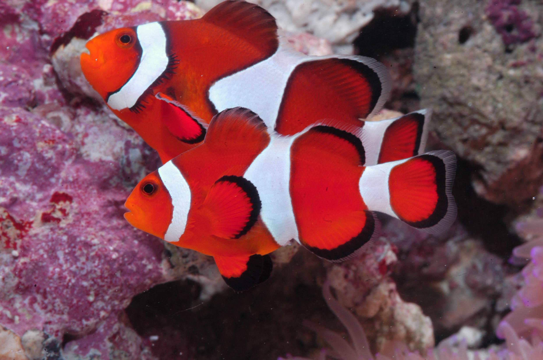 Anemonefish-3