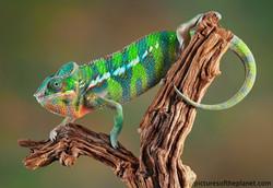 colorful-chameleon_950_watermark