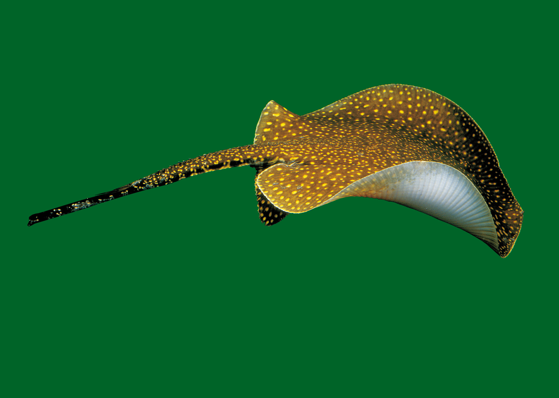 Freshwater Stingrays1-11