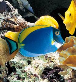 Marine Aquarium Fish-14
