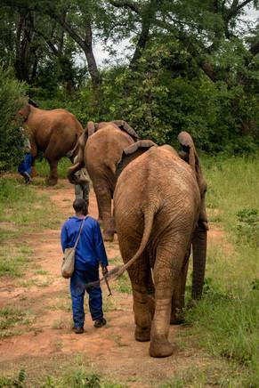 Elephant Breakfast Walking Livingstone.j
