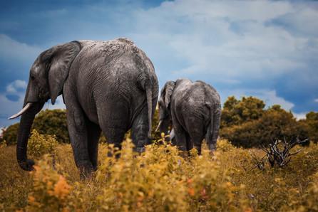 Chobe Elephants-6.jpg