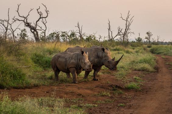 Rhinos Hlane Swazi (1 of 7).jpg