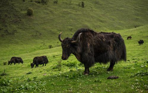 Yak Bhutan (1 of 1).jpg