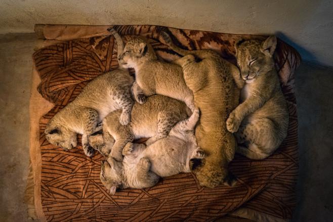 Mukuni Lion Cubs Sleeping Livingston (1