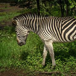 Zebra Livingstone.jpg