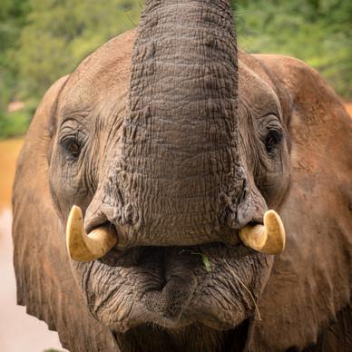 Elephant Breakfast Front on Face Livings