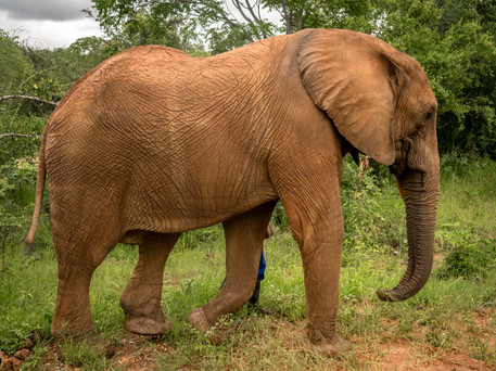 Elephant Breakfast Big Boniface Livingst