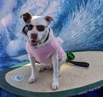 Faith the Surfing Pitbull.jpg