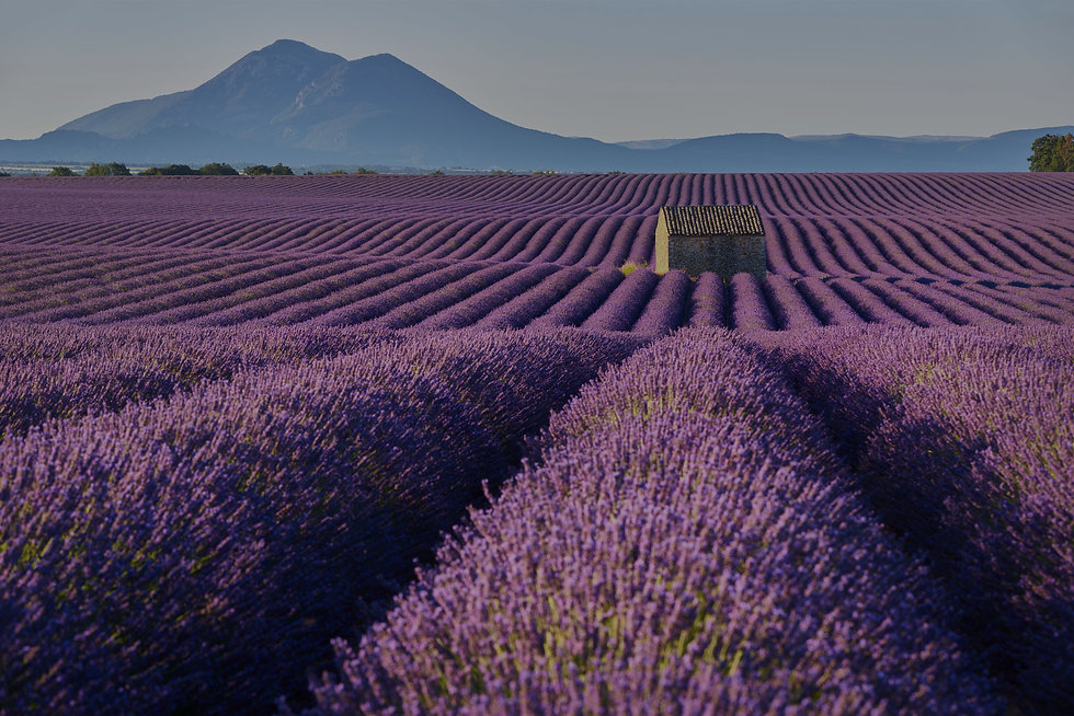 Lavender%20Fields%20_edited.jpg