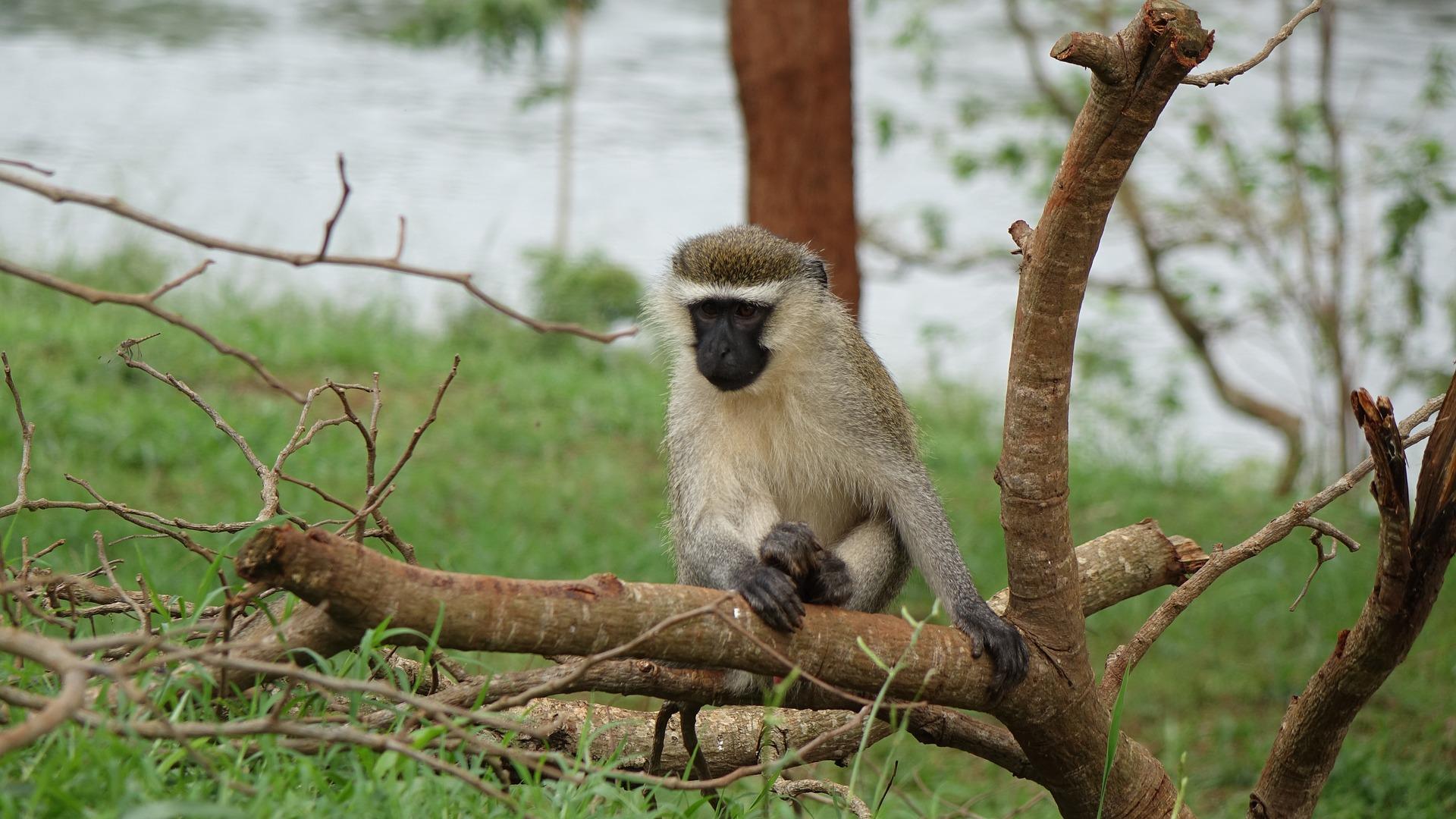 Monkey in Small Tree