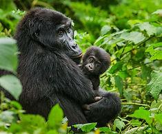 Gorilla 35.jpg