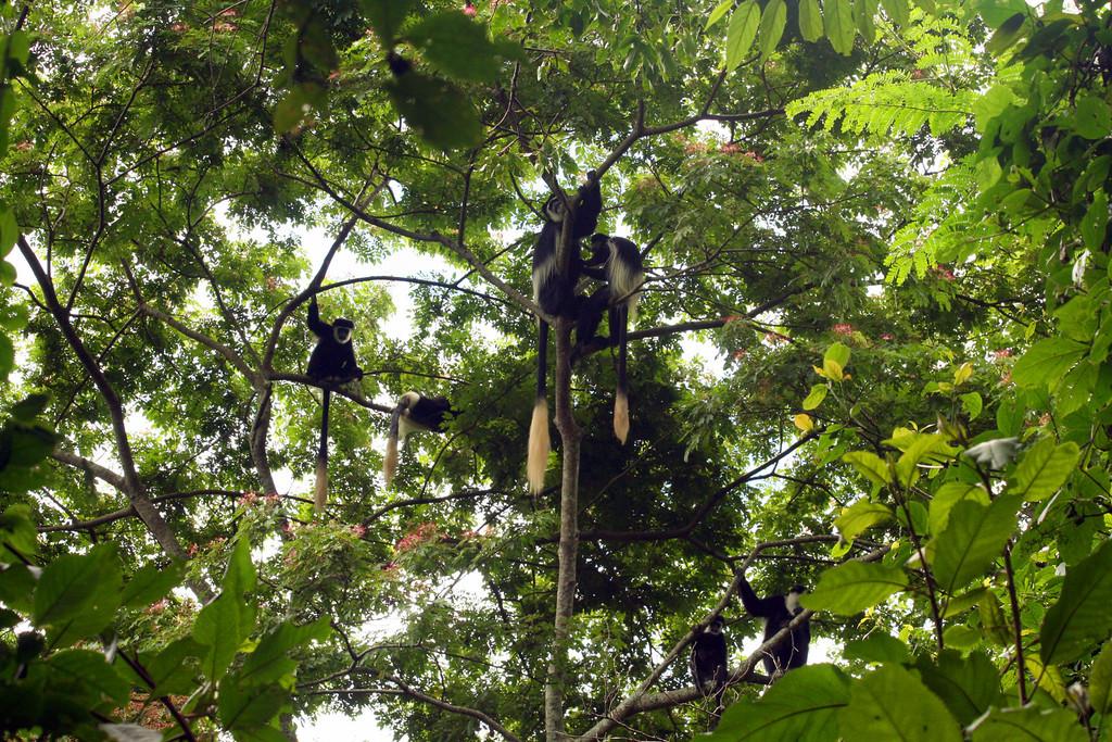 Monkeys in Kibale Canopy