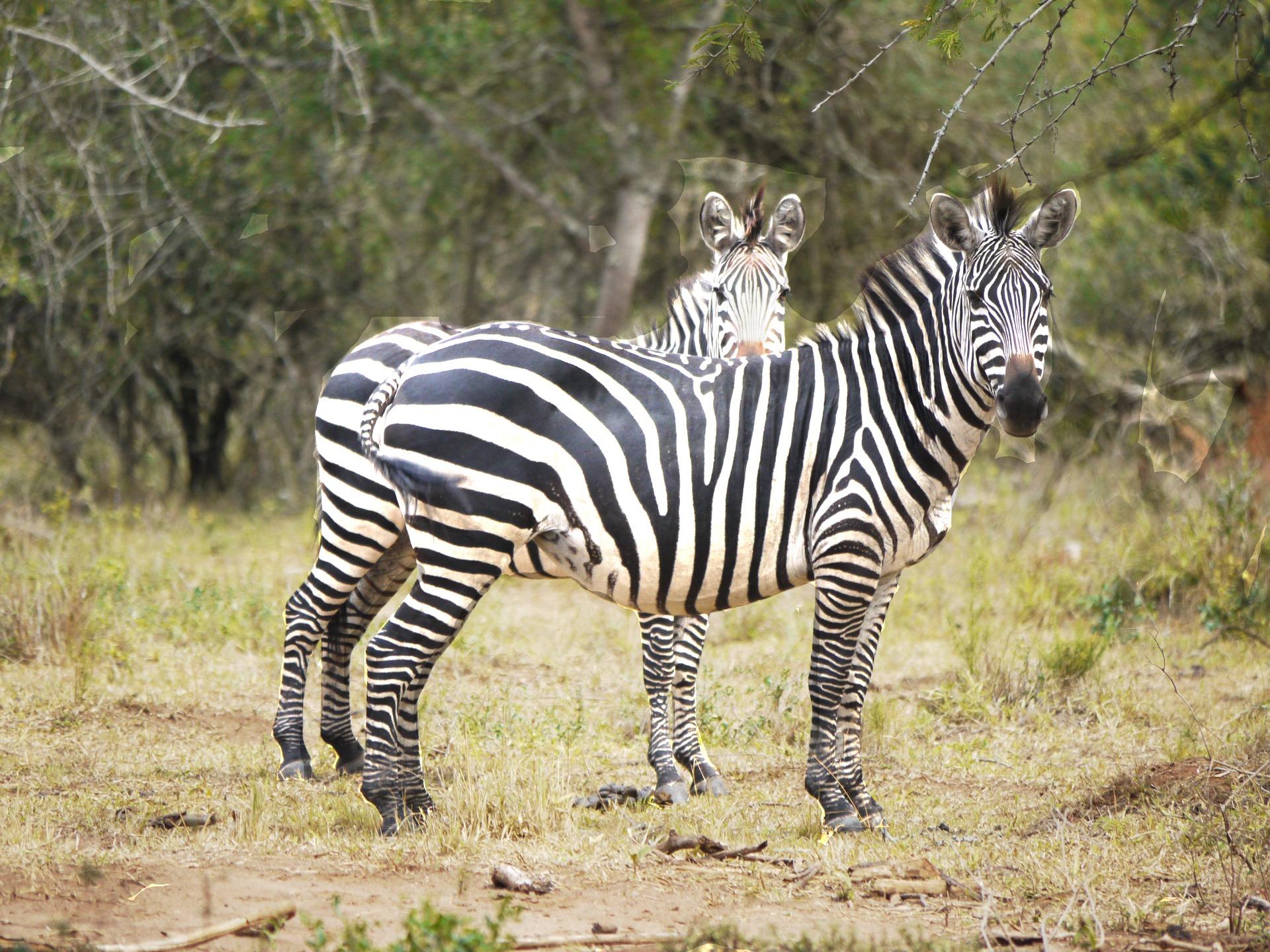 zebras-1536872_1920