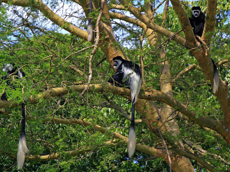 Black and White Colobus Monkeys