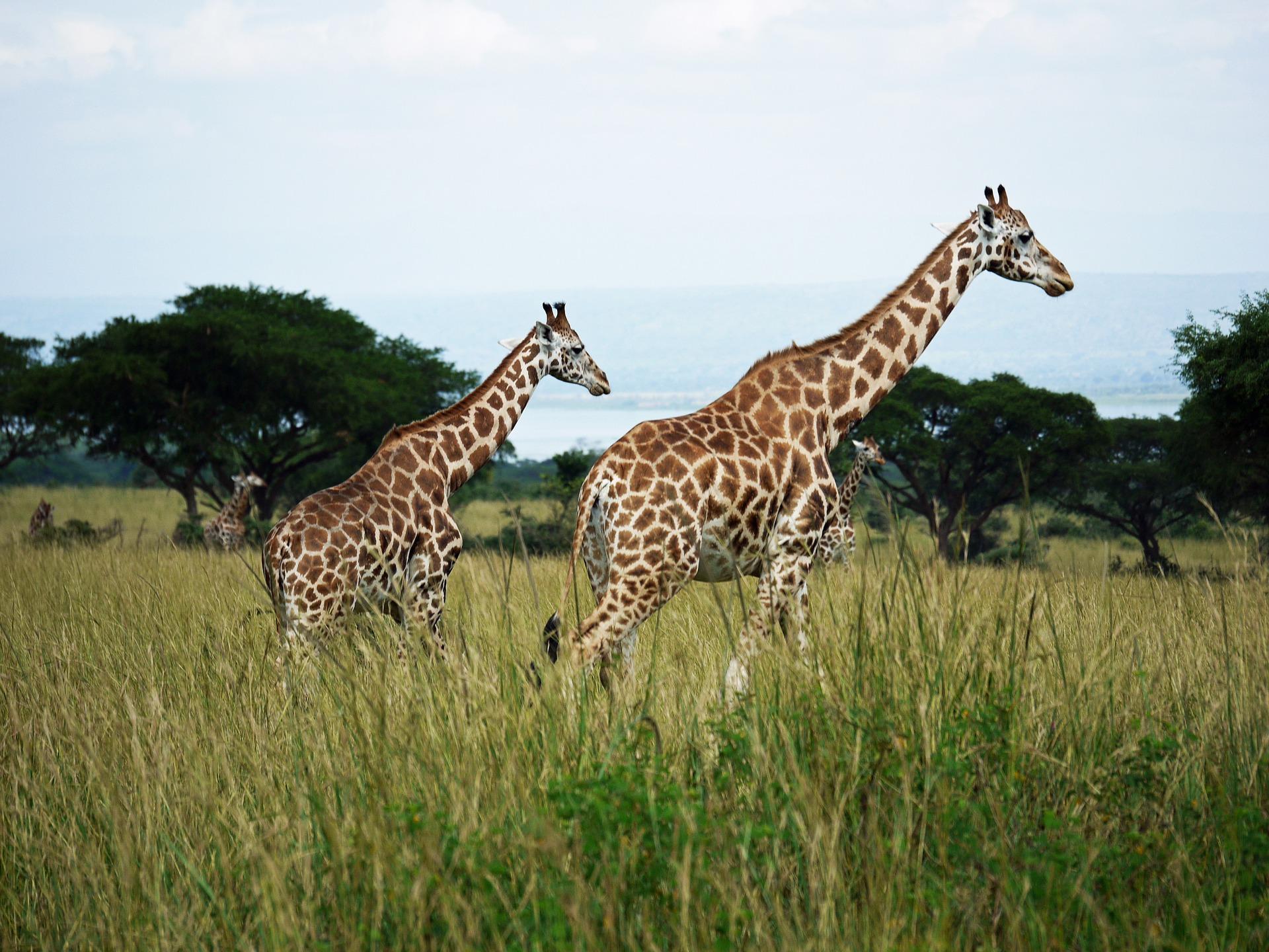 giraffes-1543686_1920
