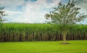 sugarcane-439880_1920.jpg