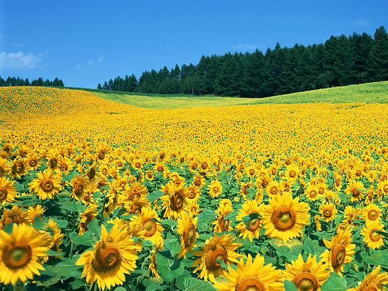 Sunflowers in Provence France