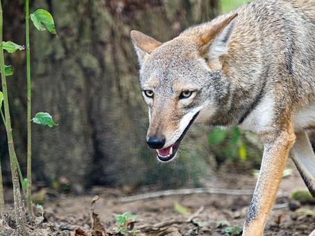 Coyotes Roam Katy Neighborhoods Causing Concern