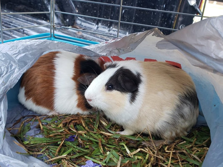 Katy Sees Rise in Pet Abandonment; Local Family Finds Guinea Pigs Dumped in Truck Bed