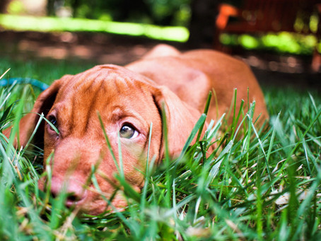 Grass seed injury in dogs
