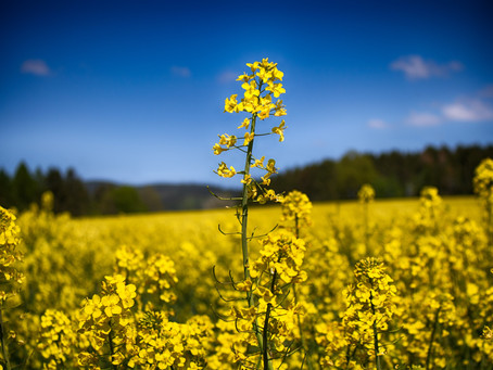 Rapeseed toxicity in dogs