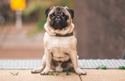 Pugs are popular pets and have the brachycephalic conformation.