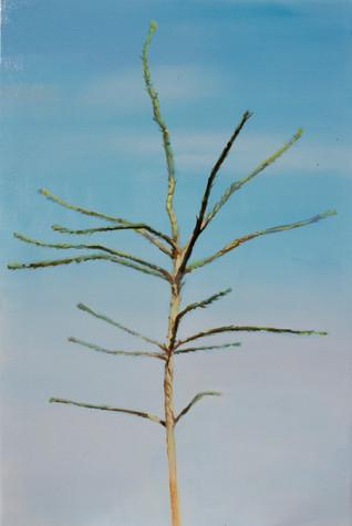 Picea abies #5