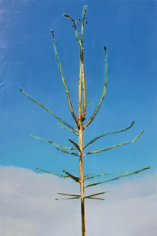 Picea abies #4