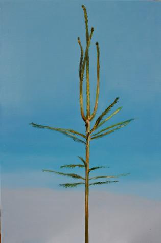Picea abies #7