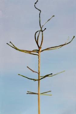 Picea abies #1