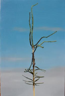 Picea abies #9