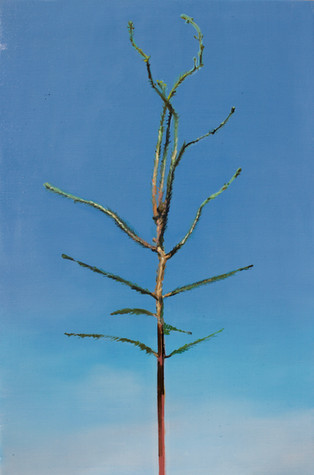 Picea abies #6