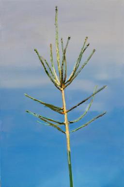 Picea abies #8