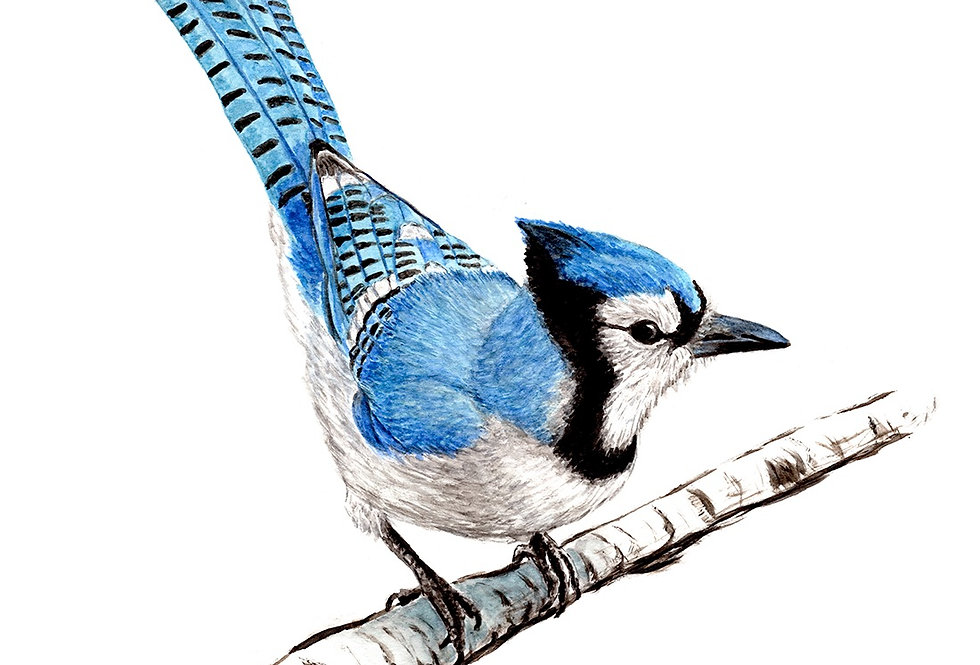 BLUE JAY - ORIGINAL