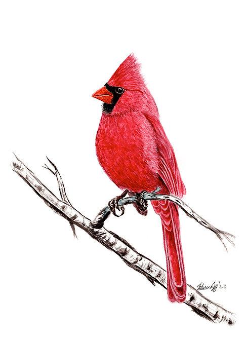Cardinal - Print