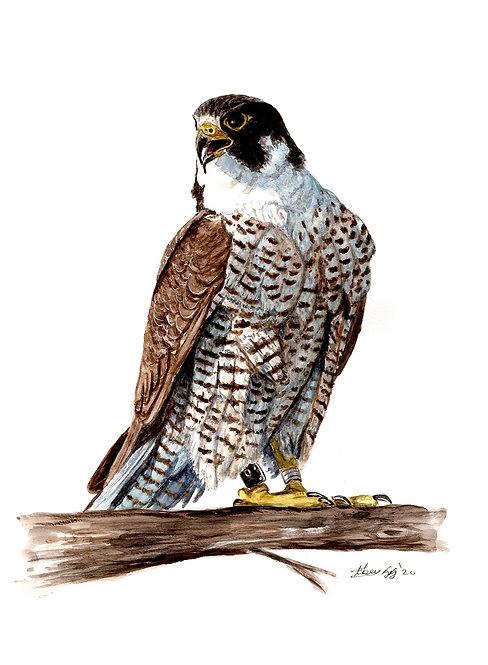 Falcon - Print