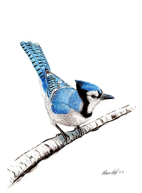 Blue Jay - Print
