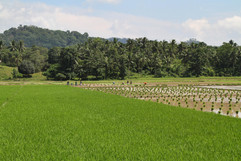 2015 Rice Paddy on the Road