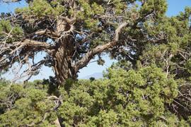 2018 Juniper Tree